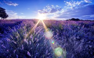 36544254-lavender-wallpaper
