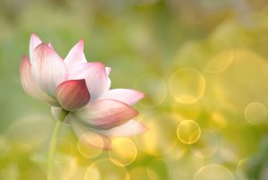 bigstock-lotus-flowers-in-garden-under-41871190