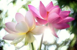Twin Lotuses