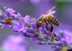 bee-on-lavender-564x400