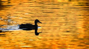 duck-silhouette-on-golden-pond-lane-erickson