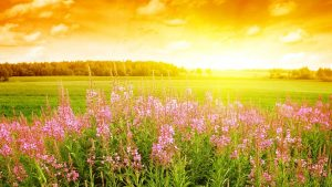 fields-of-flower-hd-wallpaper-for-background