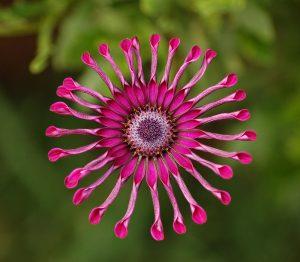 pinkFlower_Power_Spider_Purple_2134px
